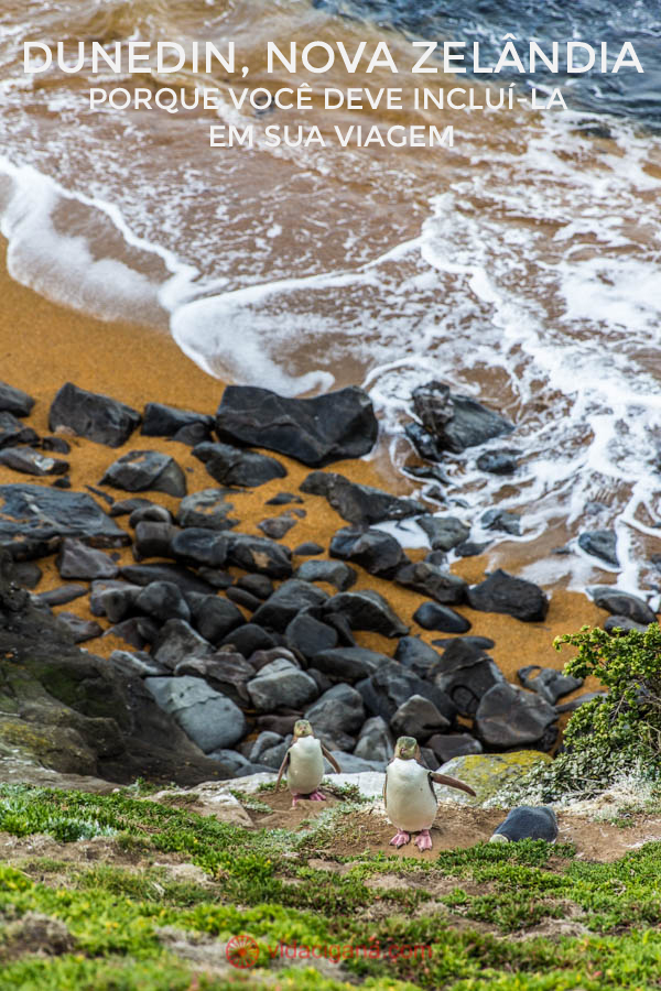 A colônia de pinguins de Moeraki, perto de Dunedin, na Ilha Sul da Nova Zelândia. Para chegar até lá é preciso fazer uma trilha de meia hora a partir de um farol. Pinguins andam soltos nos barrancos do local. São pinguins bem raros, os de olhos amarelos. Eles são tímidos e não é recomendado se aproximar deles, pois eles estão em seu habitat natural. Um casal de pinguins está subindo o barranco na beira da praia de areias laranjas. Muitas pedras se encontram na beira água, as ondas batem suavemente na encosta.