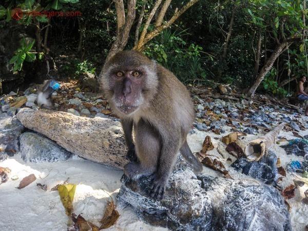 Um macaco olhando para a câmera em Monkey Bay