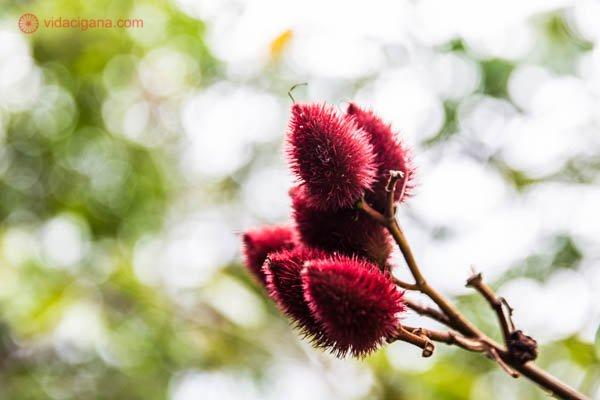 urucum vermelho planta espinhosa com fundo descofado verde e branco fruto semente tempero