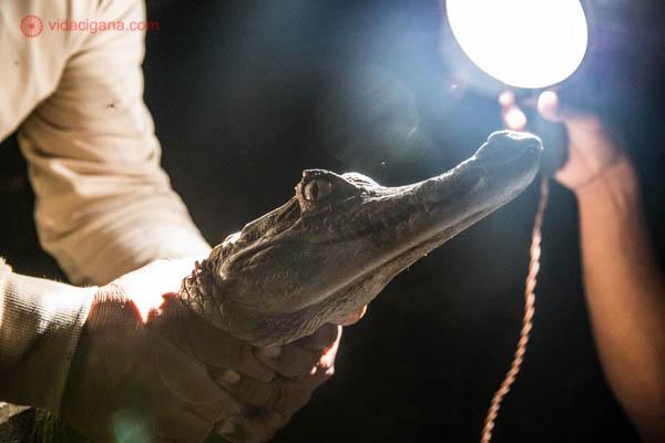 jacaré adulto sendo segurado por homem no rio solimões e sendo iluminado por uma lanterna