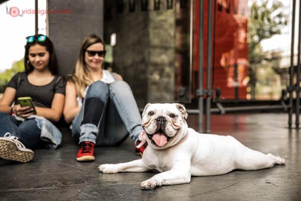 Cachorro da raça bulldog francês sentado embaixo do MASP, na Avenida Paulista, em São Paulo, se refrescando. Ele tem o pelo branco e usa uma coleira vermelha. Duas mulheres estão sentadas atrás dele sorrindo.