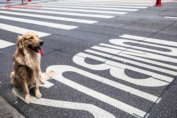 Cachorro da raça golden retriever sentado no asfalto na Avenida Paulista, em São Paulo, olhando ao redor. Ele tem o pelo amarelo e está com a língua de fora. No chão é possível ler a palavra ônibus e ver uma faixa de pedrestres ao fundo.