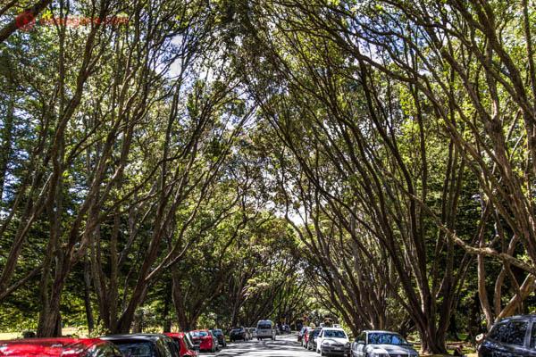 Uma rua em Auckland com seus carros estacionados e repleta de árvores com galhos altos e verdes. O dia está ensolarado.