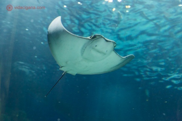 Uma arraia nadando no AquaRio